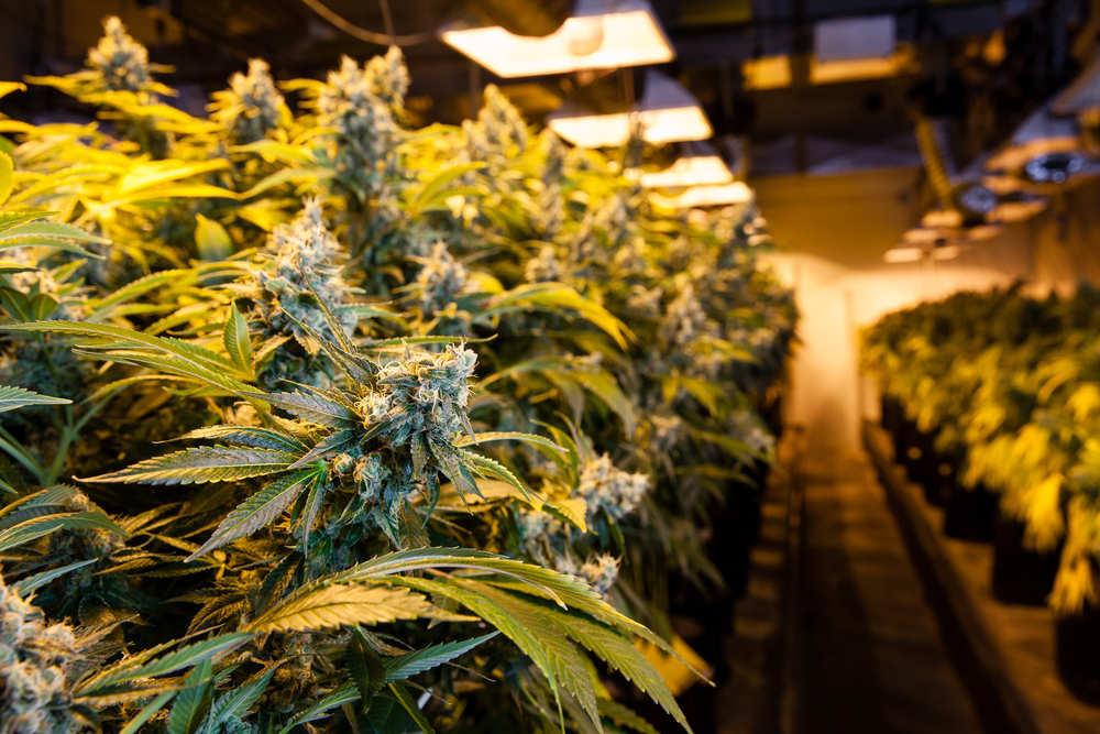 La legalización de la marihuana: estado actual de la polémica